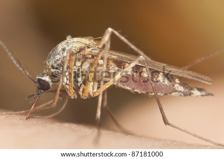 Mosquito sucking blood, extreme close-up with high magnification, focus on eyes - stock photo