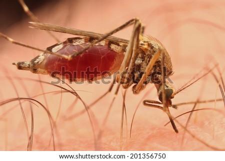 Mosquito sucking human blood  - stock photo
