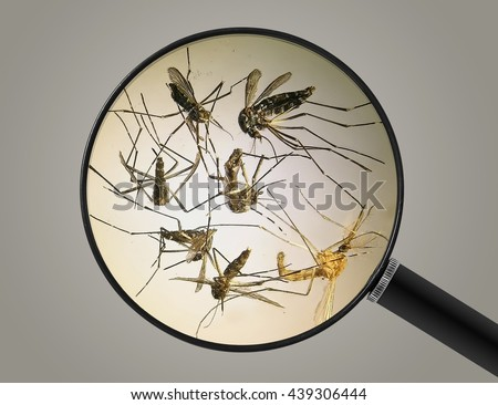 Mosquitos (Aedes albopictus), also known as (Asian) tiger mosquito or forest mosquito. Vew through a magnifying glass. Insects parasites. Pest control. Gray background - stock photo