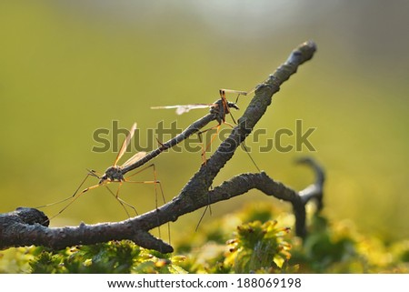 Mosquitos mating - perfect macro view - stock photo