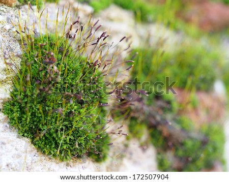 Moss and its sporophytes close up - stock photo