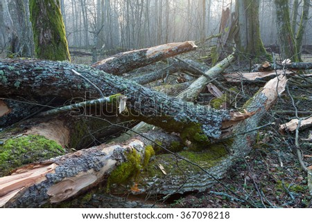 Moss and lichen wrapped tree parts in misty early spring,Bialowieza Forest,Poland,Europe - stock photo