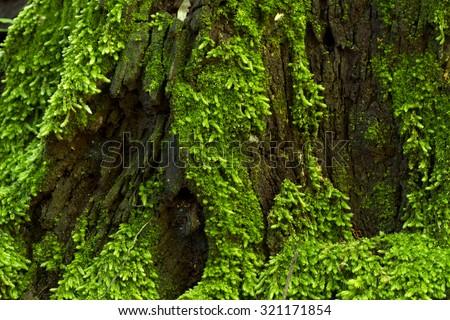 Moss closeup,Green jungle,tree rain forest of Haew Narok Waterfall, national parks,Khao Yai, Pak Phli, Prachinburi, Thailand - stock photo