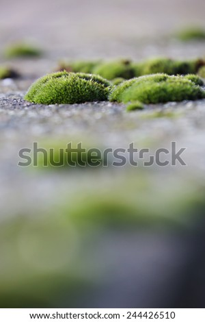 Moss clusters on the pavement, Macro view of moss on the ground - stock photo