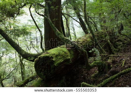 Moss covered ancient tree in primeval forest, Yakushima Island, natural World Heritage Site in Japan