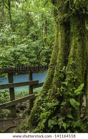 Moss covered rain forest tree with the rio celeste flowing behind. - stock photo