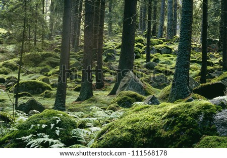 Moss covering the pine forest floor