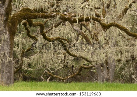 Moss Hanging from Old Oak Trees - stock photo