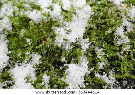 moss in winter, snow (macro) - stock photo