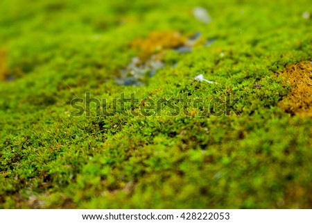 Moss on the tree in nature selective focus,Carpet of green moss with roots from trees on a forest floor selective focus ,Closeup of green moss growing on tree bark with selective focus,
