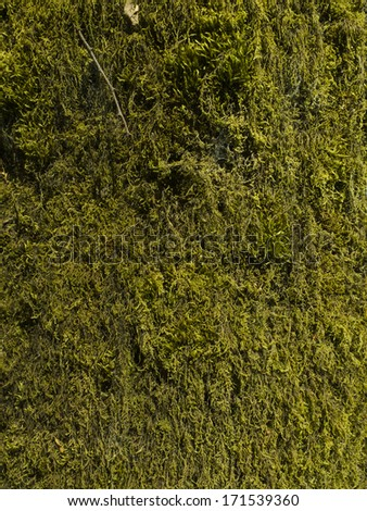 Moss on the trunk, bark, cortex of a tree, Creating a green rough texture. Nobody. Natural - stock photo