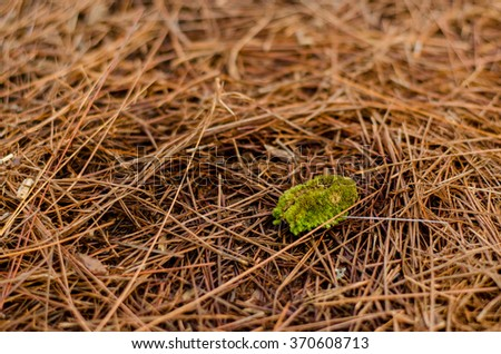 Moss on yellow pine leaves