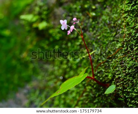 Moss Pink flowers , kaoyai Thailand - stock photo