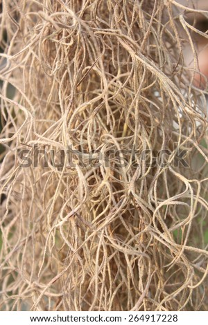 Moss(Tillansia usenoides L.) for background and texture use - stock photo