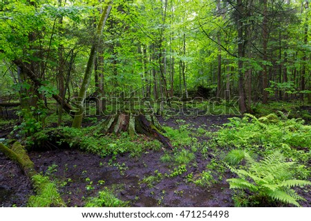 Moss wraped stump and fern in deciduous stand,Bialowieza Forest,Poland,Europe