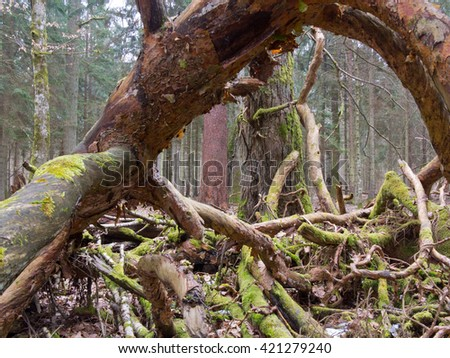 Moss wrapped broken branch lying with and fungi grows over, Bialowieza Forest,Poland,Europe - stock photo