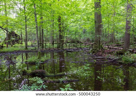 Moss wrapped broken tree lying in water in old natural summertime deciduous stand,Bialowieza Forest,Poland,Europe