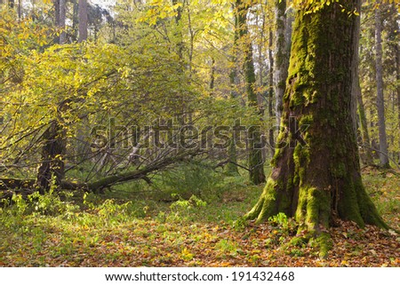 Moss wrapped maple tree next to broken branch in autumn morning - stock photo