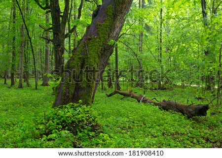 Moss wrapped old linden tree in spring with fresh plants around in deciduous stand of Bialowieza Forest - stock photo