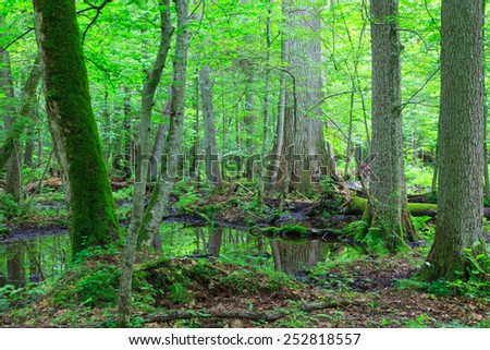 Moss wrapped trees by water in old natural summertime deciduous stand of Bialowieza Forest