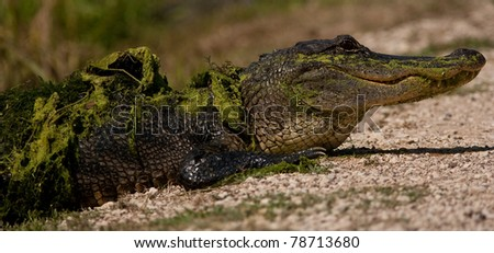 Mossy Alligator
