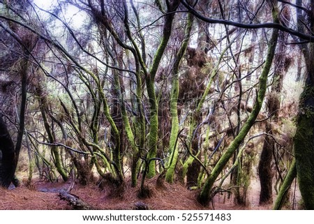 "Mossy forest of el Pilar, the entrance of the ""Ruta de los vulcanos"" in la Palma."