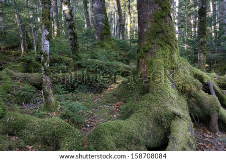 Mossy forest with spreading root system  in Yatsugatake, Nagano, Japan. - stock photo