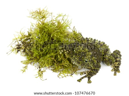 Mossy Frog next to Moss, Theloderma corticale, also known as a Vietnamese Mossy Frog, or Tonkin Bug-eyed Frog, against white background - stock photo