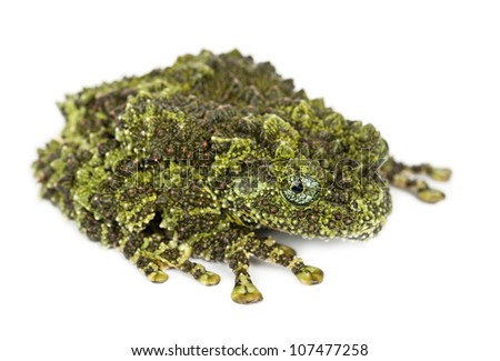 Mossy Frog, Theloderma corticale, also known as a Vietnamese Mossy Frog, or Tonkin Bug-eyed Frog, portrait against white background - stock photo