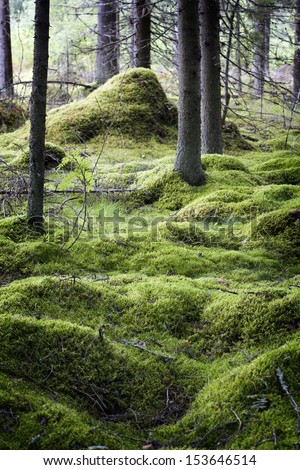 Mossy pine forest - stock photo
