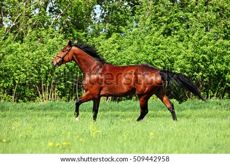 Most beautiful brown horse summer afternoon grazing in pasture