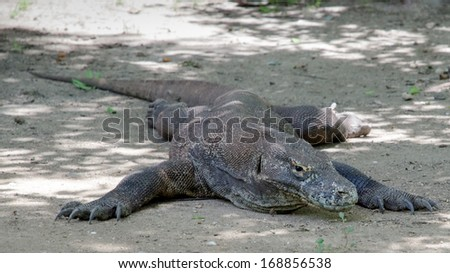 Most real dragons in their natural habitat on the island of Komodo