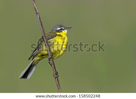 Motacilla flava, Yellow Wagtail, Blue-headed Wagtail, Europe