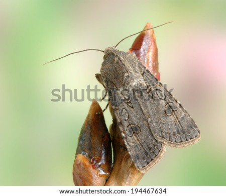 Moth Agrotis segetum on a plant - stock photo