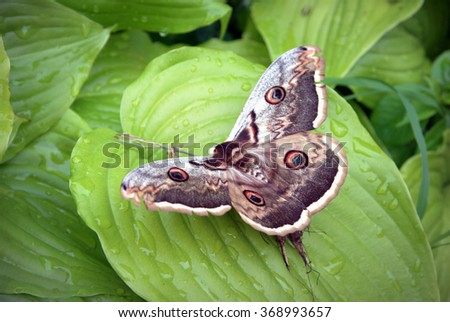 Moth butterfly, giant silk moth butterfly called Cecropia Moth, Hyalophora cecropia
