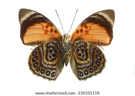 moth butterfly isolated - stock photo