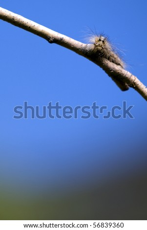 Moth caterpillar on a branch against the blue sky