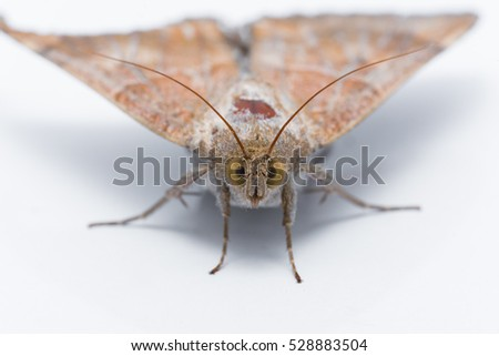 Moth comprise a group of insects related to butterflies, Close up of Cricula Silkmoth (Cricula Trifenestrata), isolated on white background