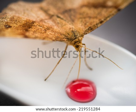 Moth feeding syrup from plastic spoon. Selective focus with shallow depth of field.  - stock photo
