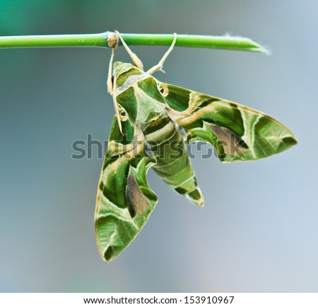 Moth-Guard Month wraps and  Oleander Hawk-moth (Daphnis nerii) male and female asia thailand