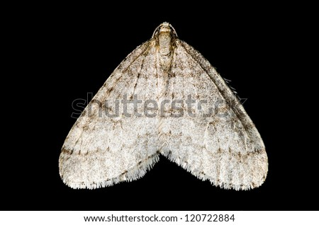 Moth (lepidoptera) isolated macro on black background - stock photo