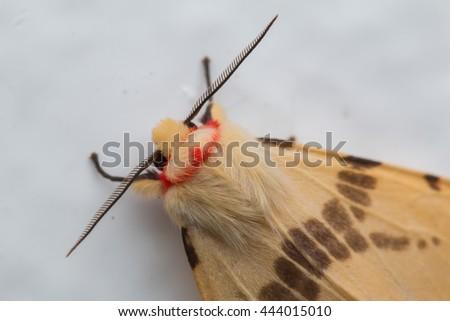 Moth of Borneo, Close-up Of Moth , Macro Shoot a cute Moth - stock photo