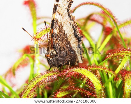 moth on sundew ( drosera ) close up. macro picture . Natural background - stock photo