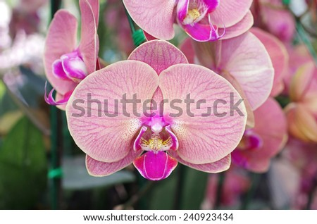 moth orchid flowers in the garden - stock photo