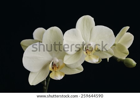 Moth Orchid,Phalaenopsis,branch with flowers and buds with a black background - stock photo