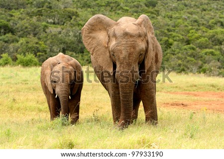 Mother and baby African elephant in a national park, South Africa