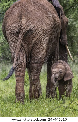 Mother and baby african elephants walking in savannah in the Tarangire National Park, Tanzania  - stock photo
