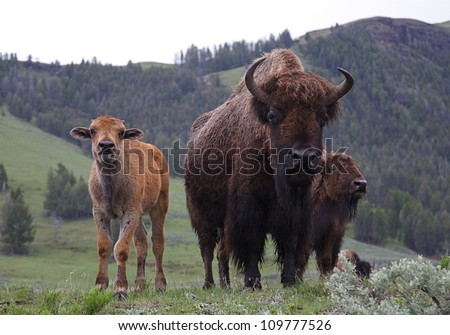 Mother and Baby Buffalo (bison) in late spring / early summer, Lamar River Valley, Yellowstone National Park, Wyoming / Montana;  bison cow and calf