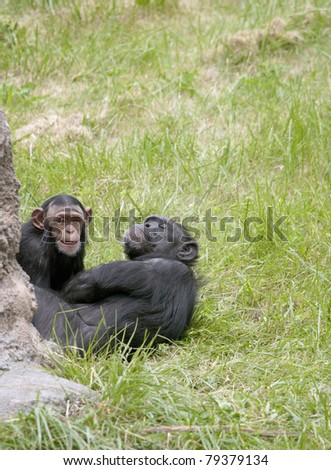 Mother and baby Chimpanzee play together.