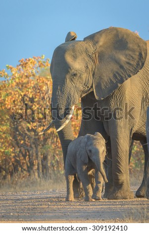 Mother and baby Elephant in Kruger National Park, South Africa - stock photo